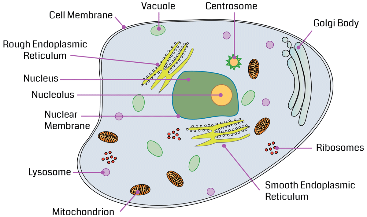 Cell Structure Diagram