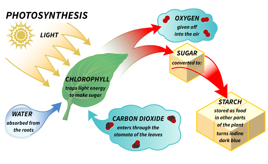 collection process of photosynthesis diagram pictures   diagramsprocess of photosynthesis diagram photo album diagrams